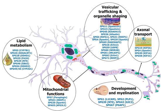 Illustrasjon som viser hvor genene for arvelig ataksi kan sitte